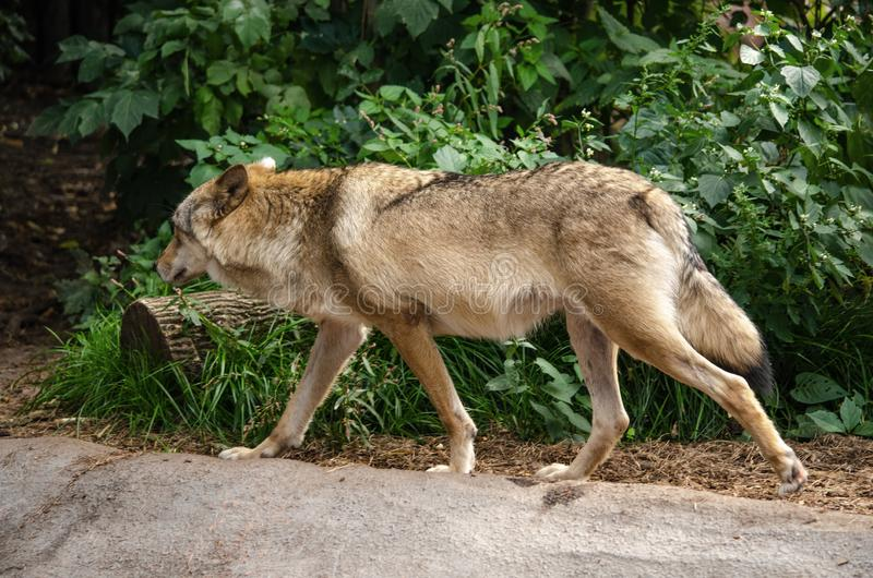 Loups au zoo et visiteurs à la volière photo libre de droits