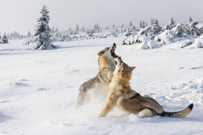 Loups dans la neige images stock