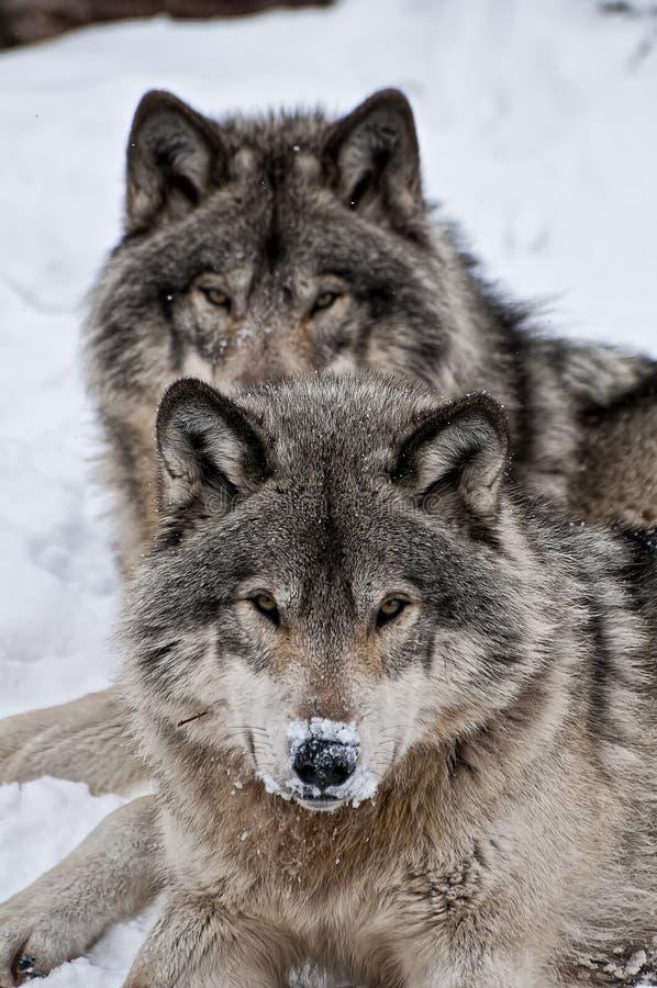 Loups de bois de construction se couchant dans la neige près de l'un l'autre photo stock