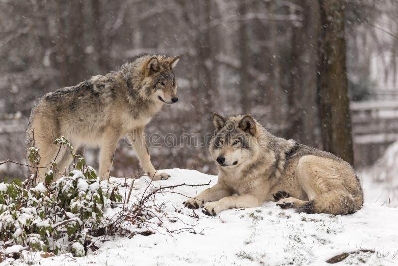 Loups de bois de construction dans une scène d'hiver photographie stock libre de droits