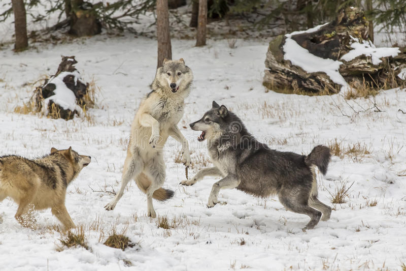 Loups de toundra photographie stock