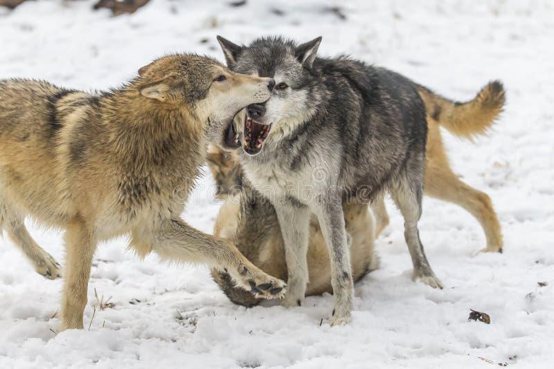 Loups de toundra photo libre de droits