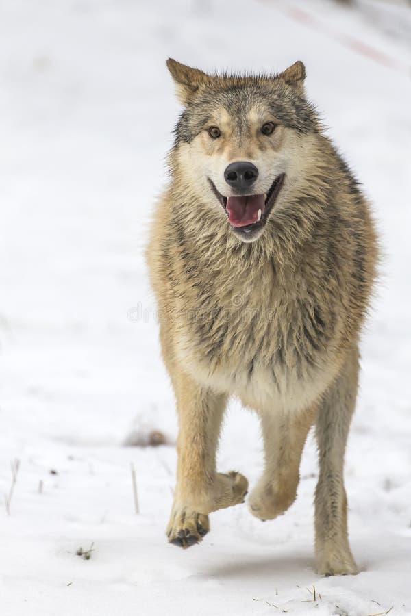 Loups de toundra image libre de droits