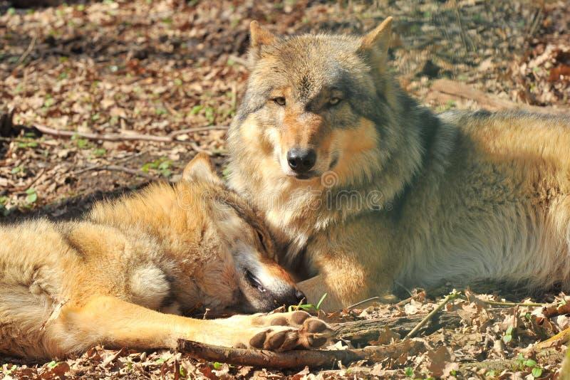 Loups gris images libres de droits
