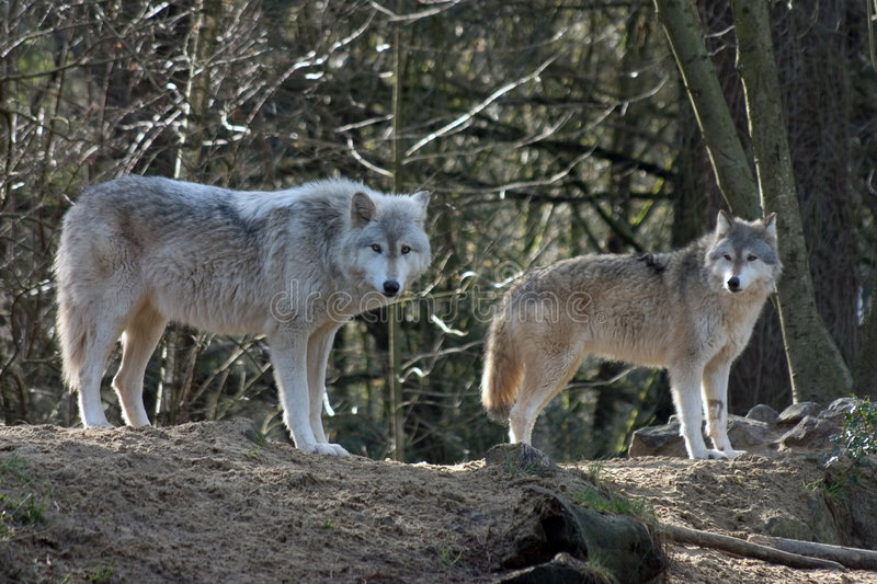 Loups gris photographie stock
