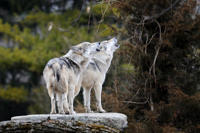 Loups gris mexicains d'hurlement photographie stock