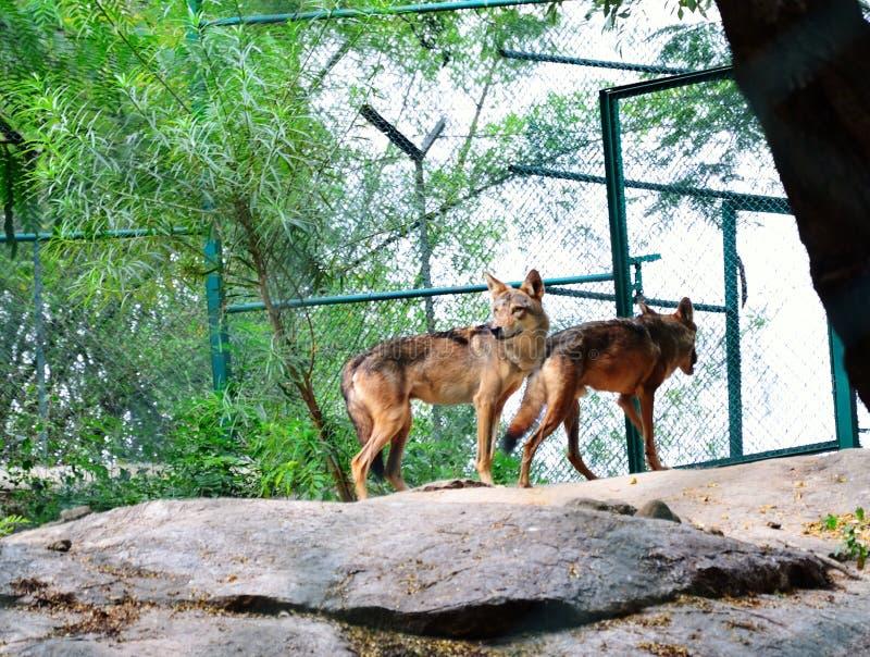 Loups indiens photos libres de droits