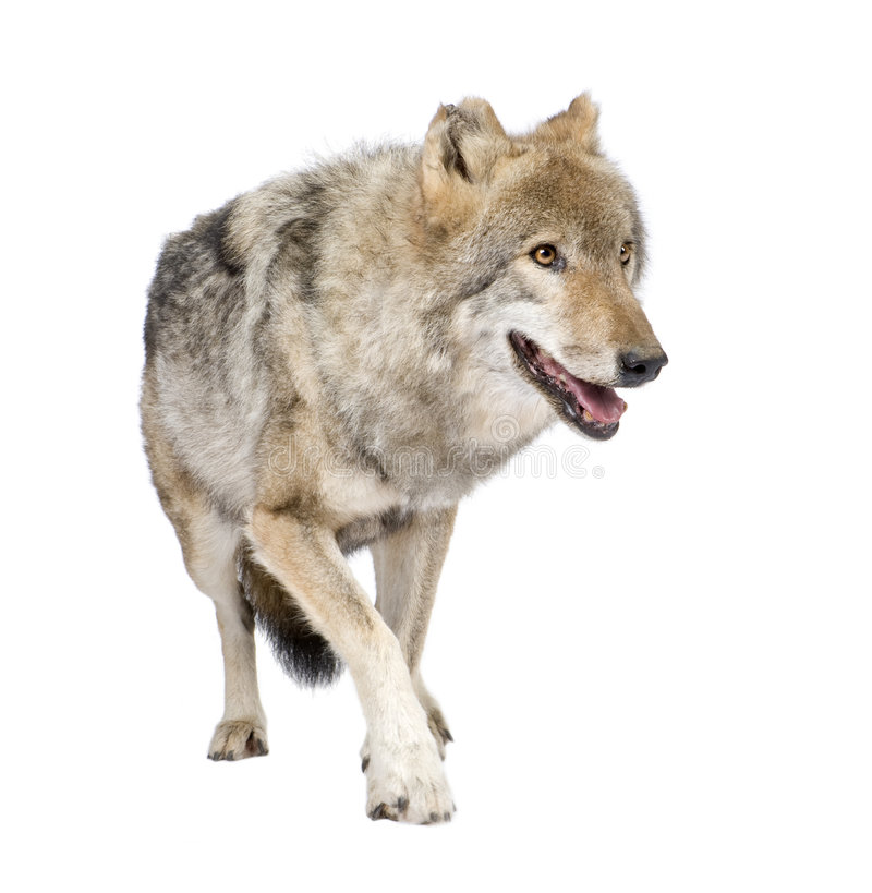Loups Mehlschwitzen europ?en stockbild