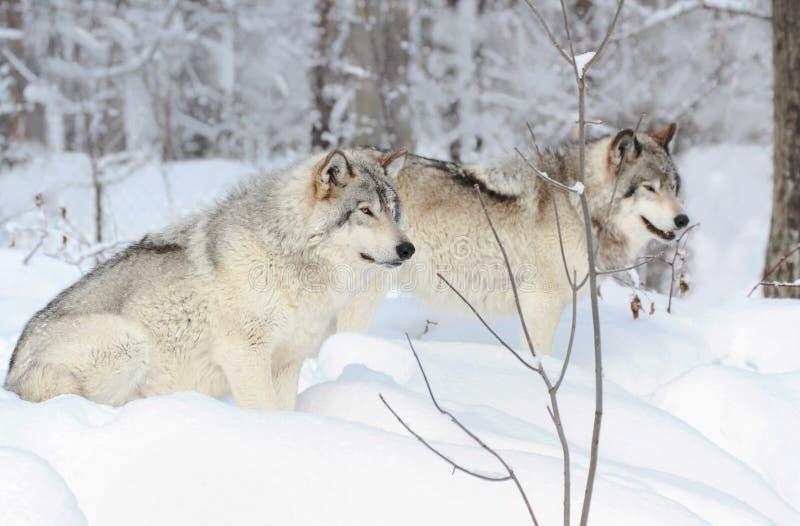Loups se reposant en nature images stock