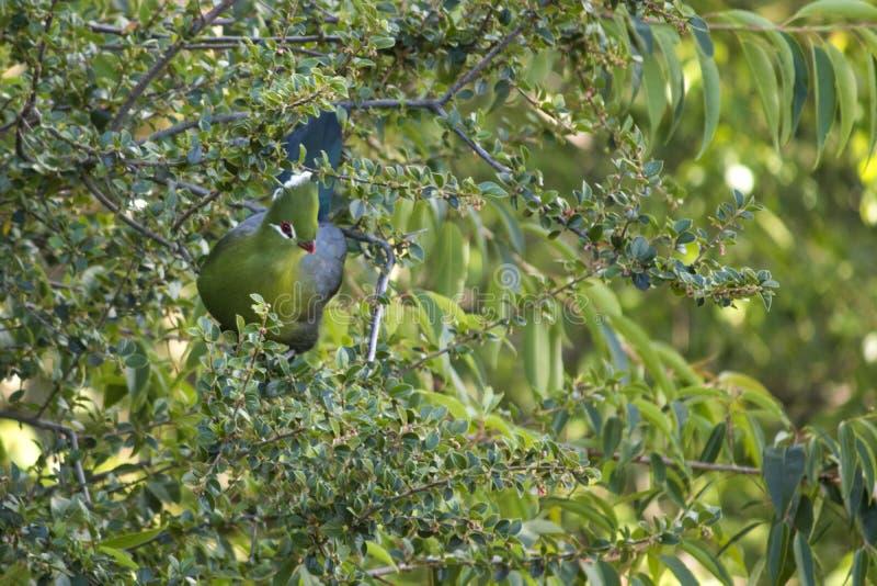 Lourievogel in een boom wordt verborgen die stock foto