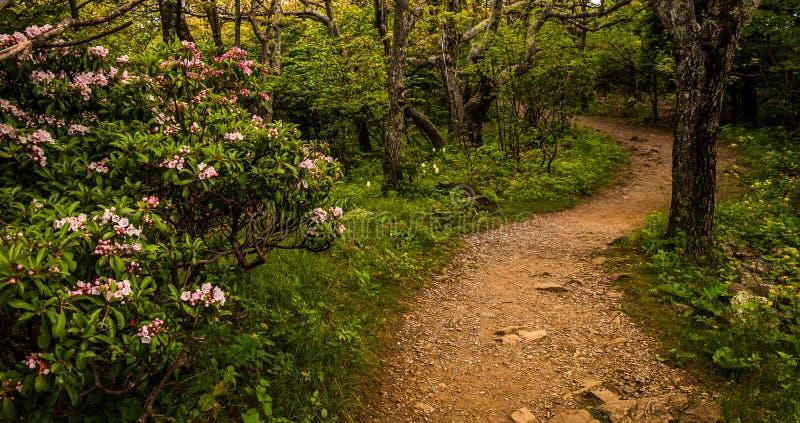Louro de montanha ao longo de uma fuga no parque nacional de Shenandoah foto de stock royalty free
