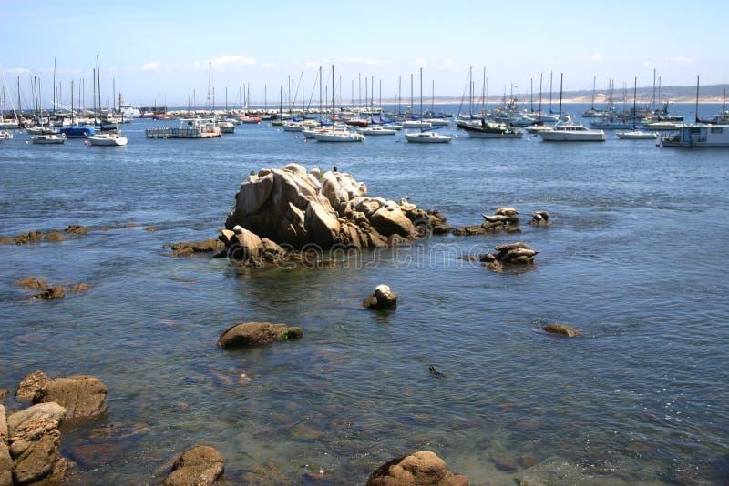 Louro de Monterey fotografia de stock