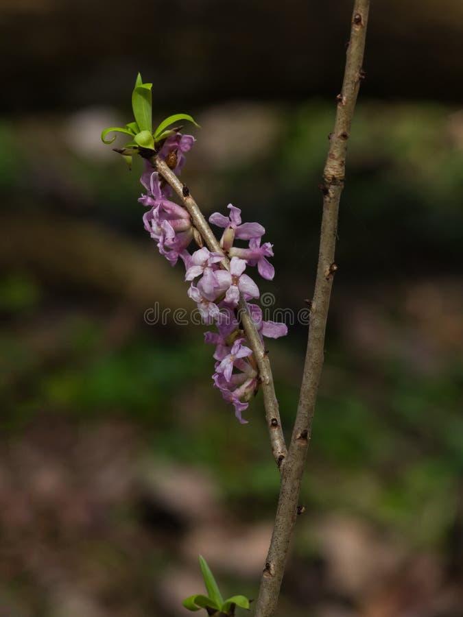Louro de Spurge ou de mezereum de Daphne close-up da flor da planta venenosa com fundo do bokeh, foco seletivo, DOF raso imagem de stock