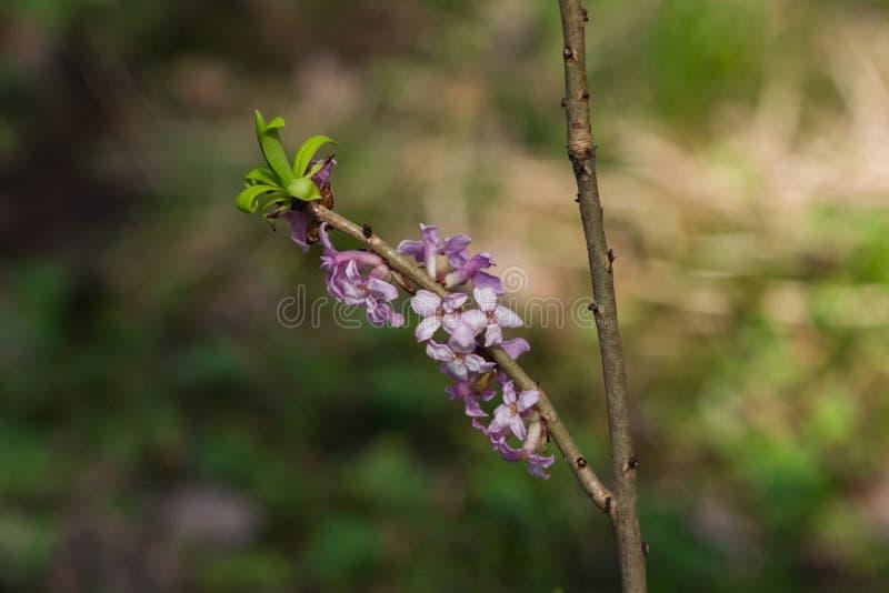 Louro de Spurge ou de mezereum de Daphne close-up da flor da planta venenosa com fundo do bokeh, foco seletivo, DOF raso fotos de stock