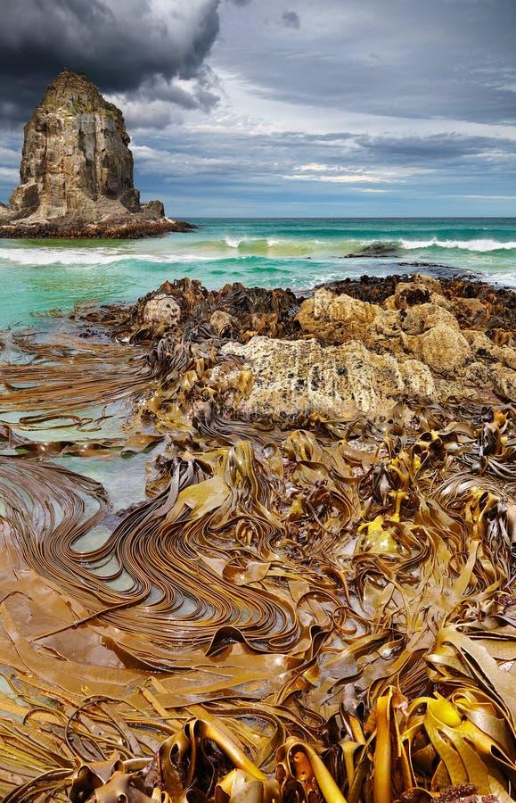 Louro do canibal, Nova Zelândia fotografia de stock royalty free