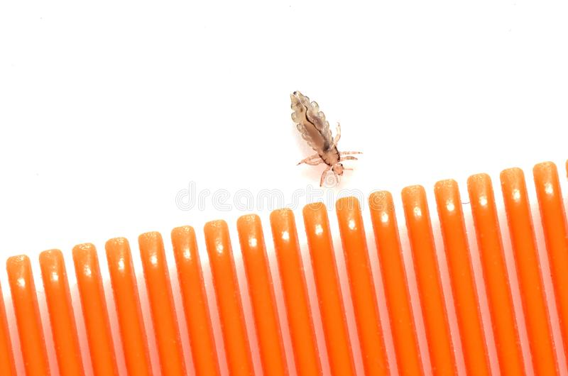 A louse on a white background next to a hairbrush for combing in stock image