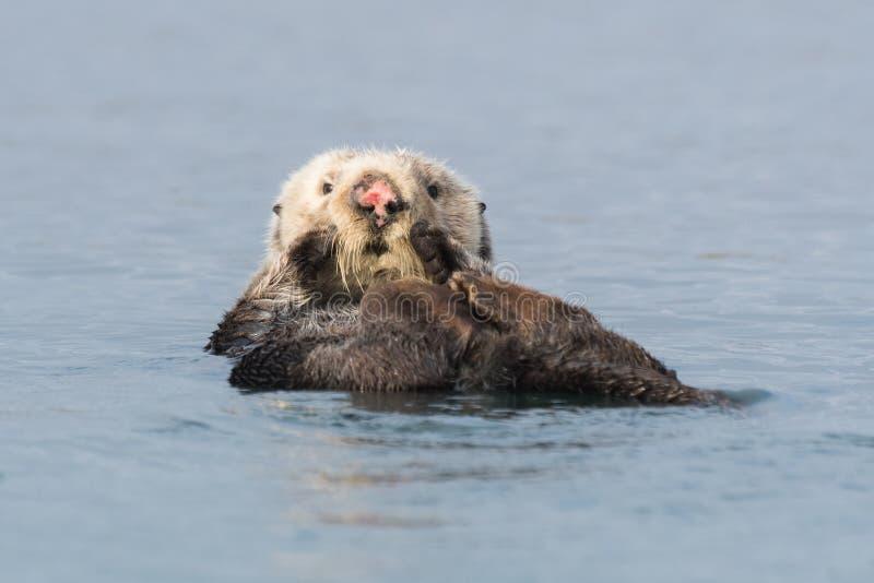 Loutre de mer avec le nez rose faisant le dos crawlé photos stock