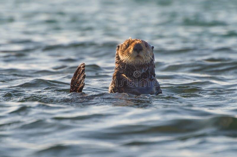Loutre de mer curieuse jetant un coup d'oeil au-dessus de l'eau images stock