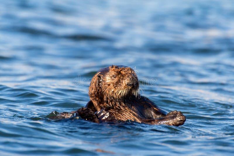 Loutre de mer dans la baie de Morro en Californie images libres de droits
