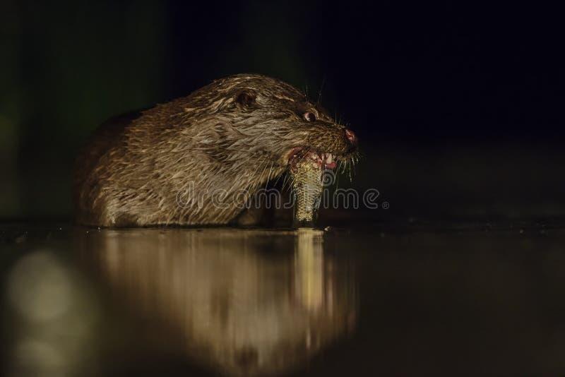 Loutre de rivière eurasienne - lutra de Lutra images stock