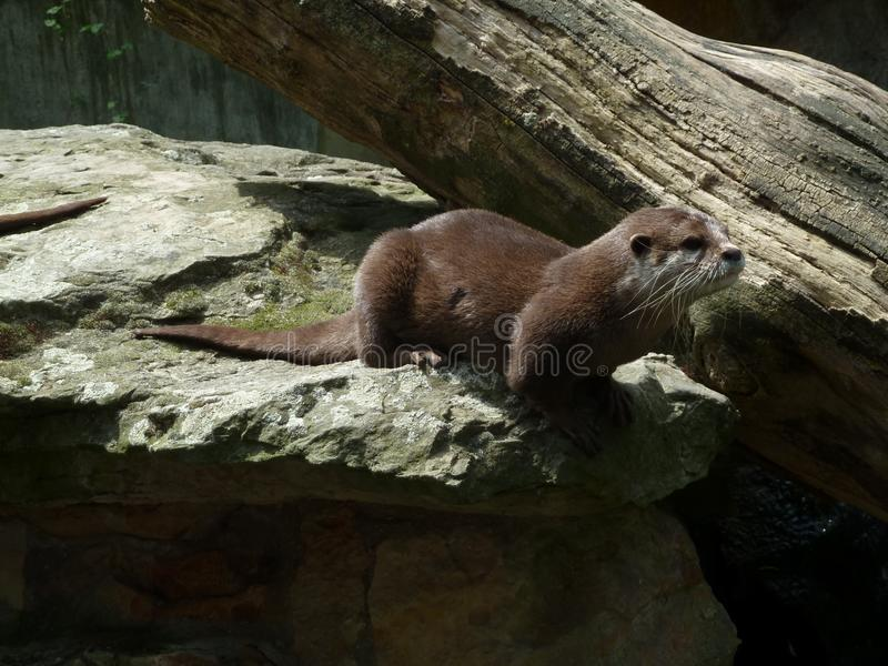 Loutre vivante dans le zoo photos libres de droits
