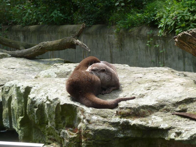 Loutres vivantes dans le zoo image libre de droits
