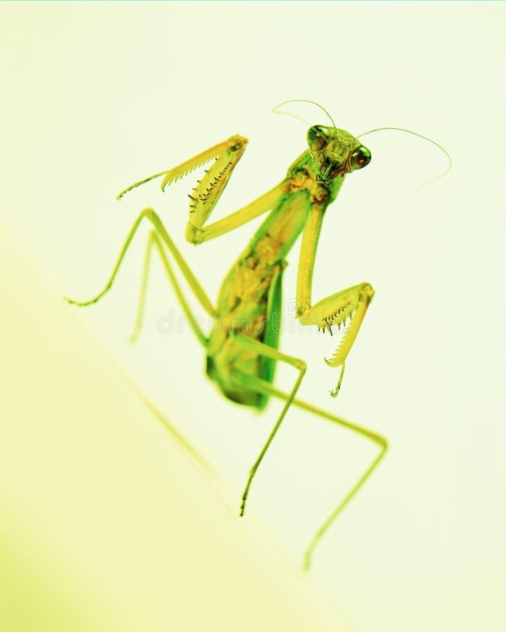 Louva-a-deus curioso no fundo verde amarelo close up, foco seletivo fotos de stock