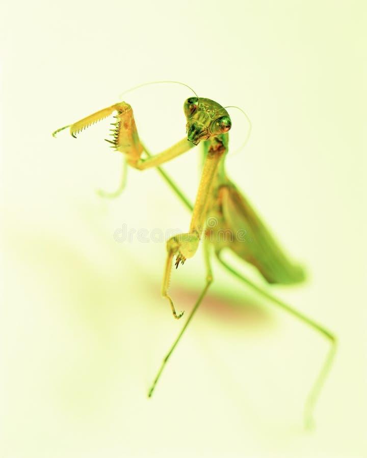 Louva-a-deus do foco seletivo no fundo verde amarelo Foco seletivo fotos de stock royalty free