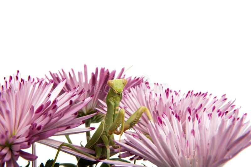 louva-a-deus em uma flor foto de stock
