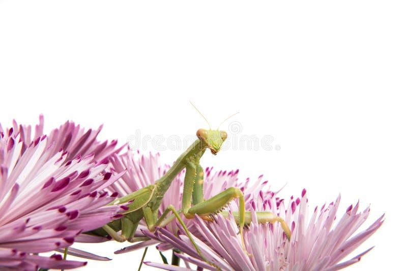 louva-a-deus em uma flor fotos de stock