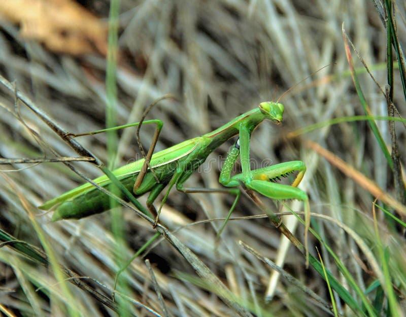 Louva-a-deus entre a grama seca, close-up fotografia de stock royalty free