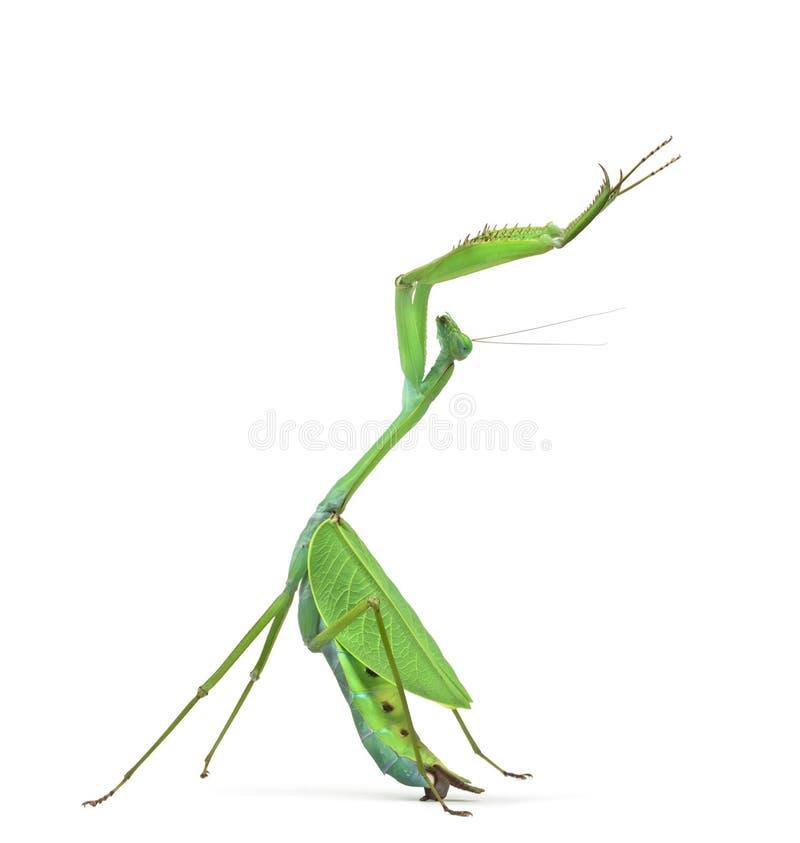 Louva-a-deus masculino - ovalifolia de Macromantis imagem de stock royalty free