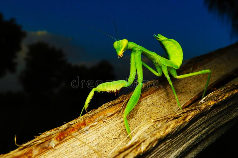 Louva-a-deus rapinando verde - Hirodula, close up completo do corpo, Satara, Maharashtra, Índia foto de stock royalty free