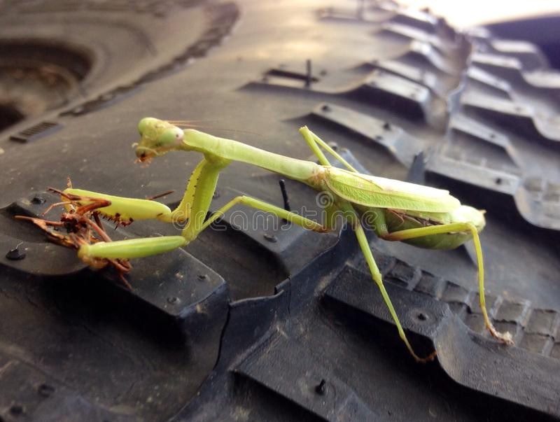 Louva-a-deus verde que come um besouro que senta-se em um pneu fotos de stock royalty free