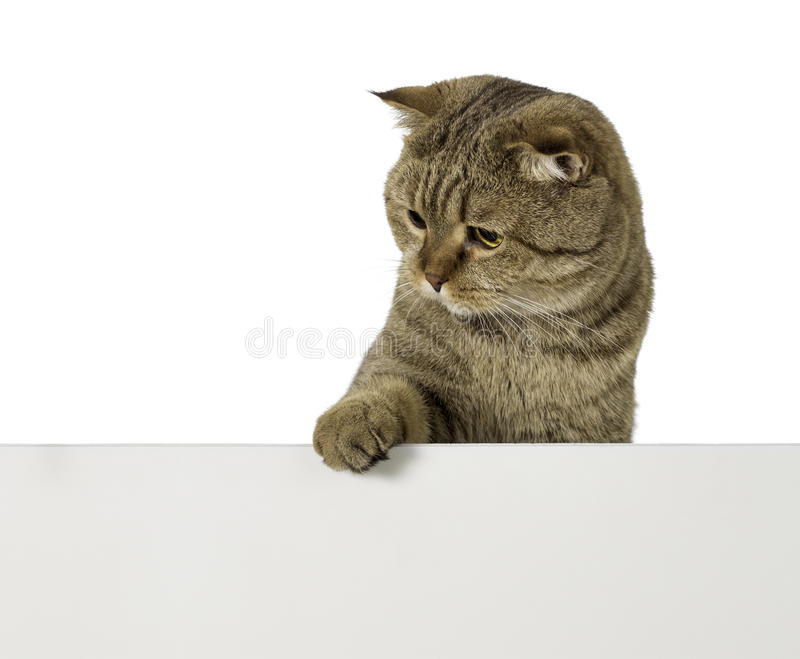 Download Lovable Cat Over Empty Plastic Board With Free Space For Your Text Stock Photo - Image of grey, isolated: 33559342