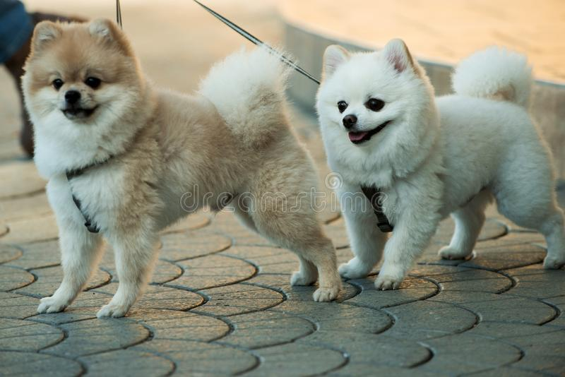 They are so lovable. Pomeranian spitz dogs walk on leash. Pedigree dogs. Dog pets outdoor. Cute small dogs playing stock image