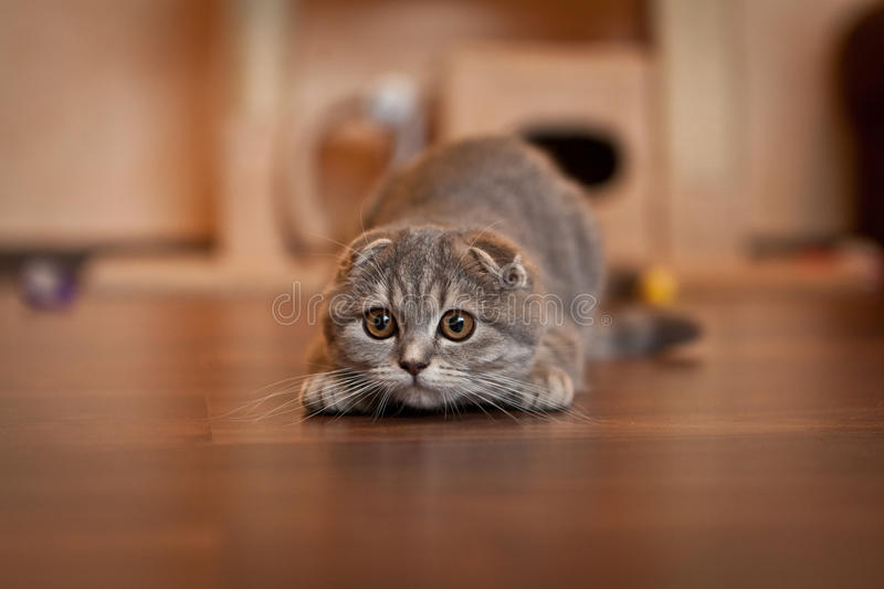 Lovable Scottish fold cat. Lovable and funny Scottish fold cat stock image