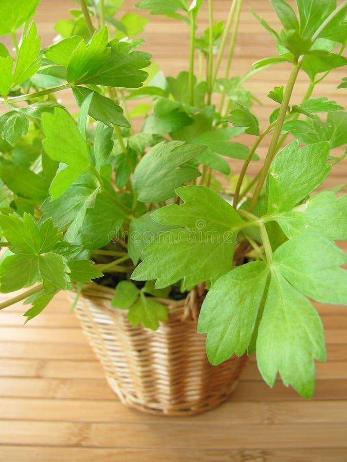 Lovage in flowerpot. Fresh green lovage in flowerpot stock image