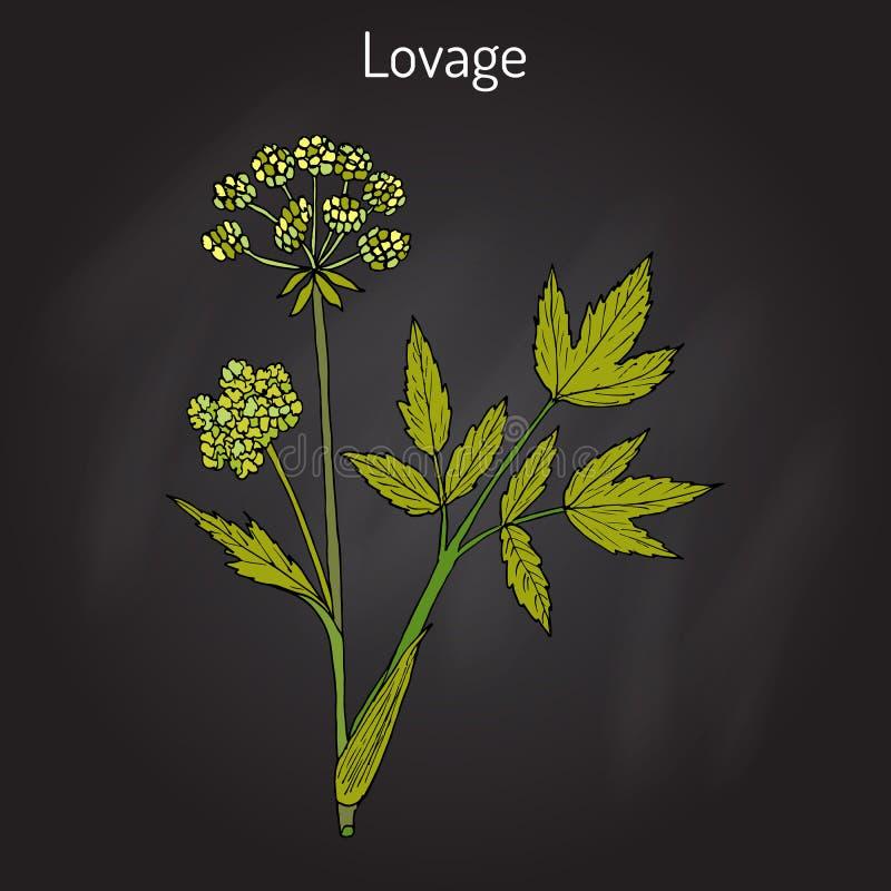 Lovage Levisticum Stock Illustrations – 8 Lovage Levisticum