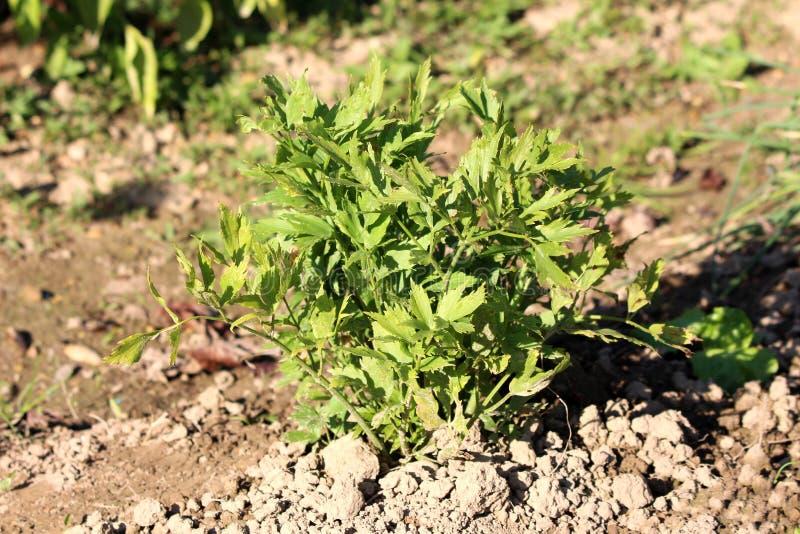 Lovage of Levisticum officinale erect herb plant met basale rosetten van bladeren en stengels met verdere glanzende groene blader royalty-vrije stock afbeelding