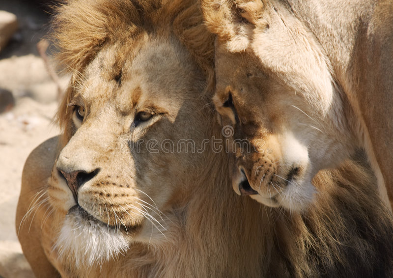 Download Love stock image. Image of africa, carnivore, environment - 1039041