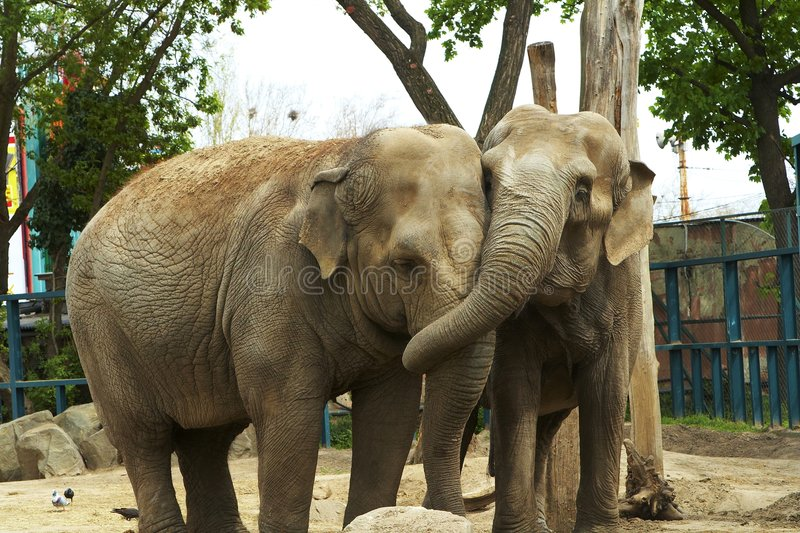 Love. Elephant love it in the Budapest zoo. The two old elephants feel very well royalty free stock photography