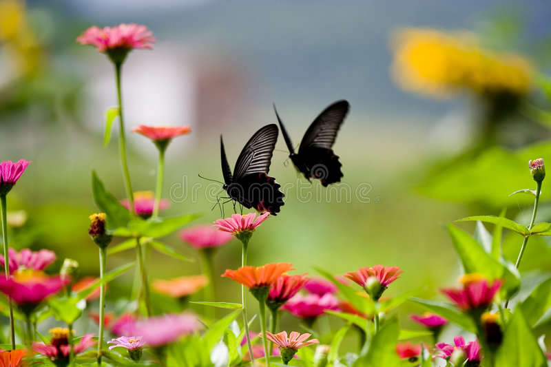 Love. Butterflies are always the symbolize of love. There's a chinese Traditional story, Two people who are classmates, fell in love with eachother, but another royalty free stock photos