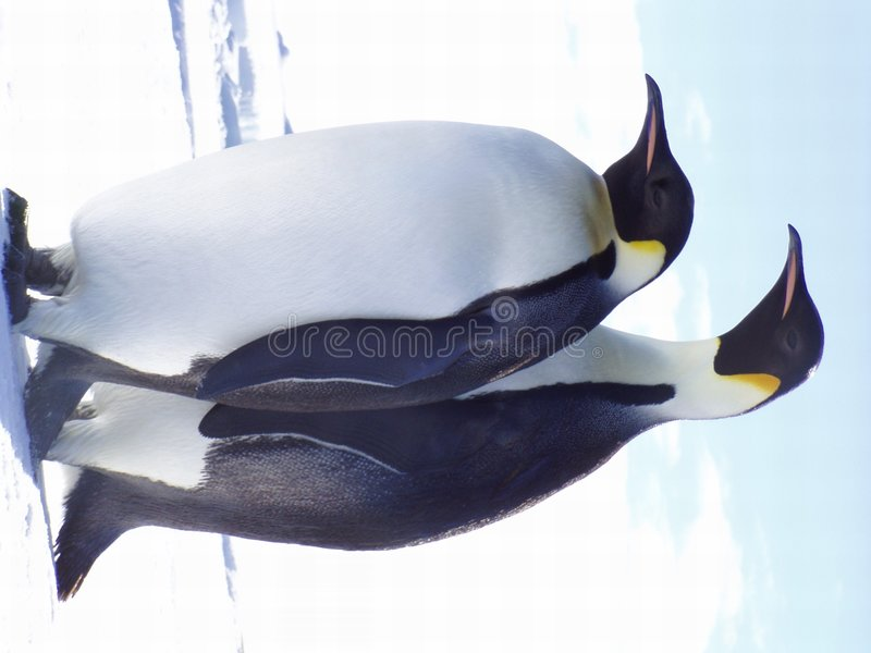 Love. Penguin Love royalty free stock photo