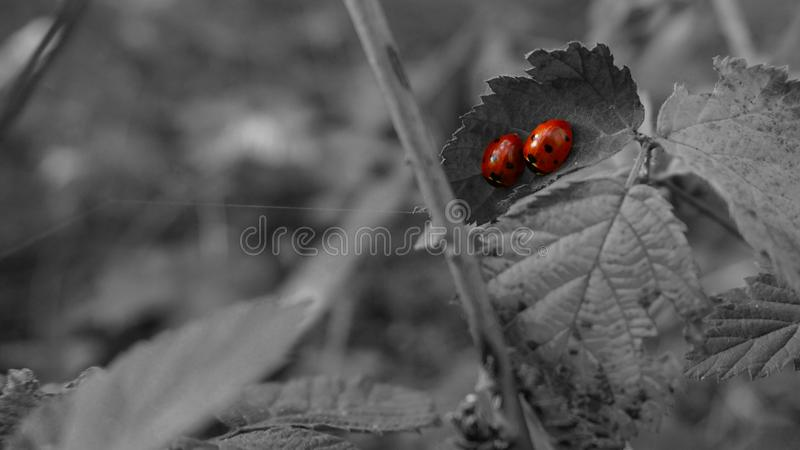 Love or accidental meeting ? two ladybugs on a black background royalty free stock photos