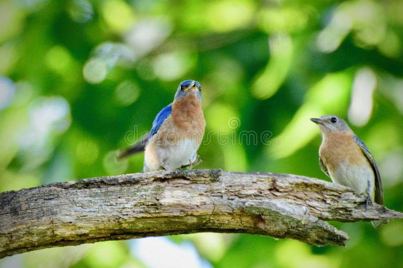 Love is in the air. Bluebird love. stock image