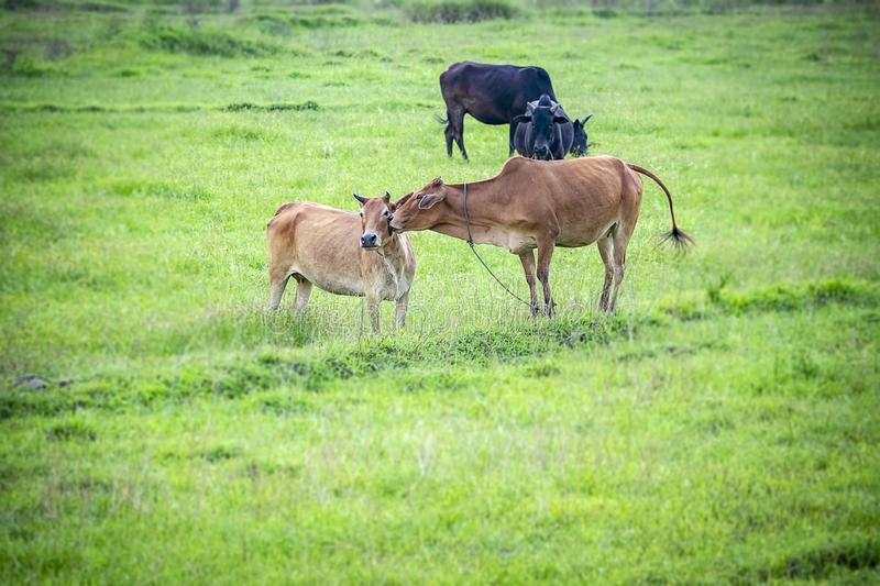 Love is on the air. A Cow carecess another one in flock of some unknown Livestock farm hervesting in th field in India of  Asia in royalty free stock image