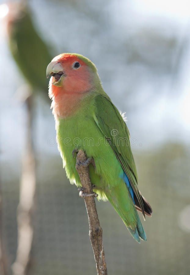 Download Love bird stock image. Image of chirping, aviary, parrot - 39540313