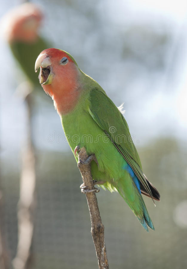 Download Love bird stock image. Image of vivid, green, feather - 39540383