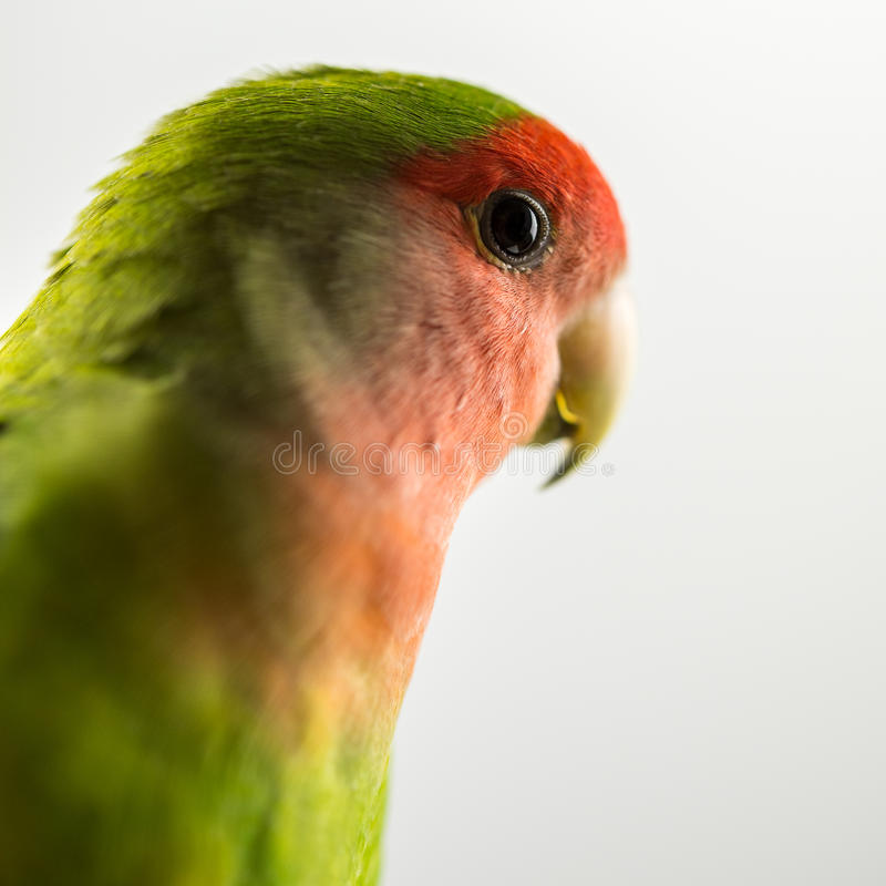 Love bird. Side view of beautiful love bird. Over white background royalty free stock image